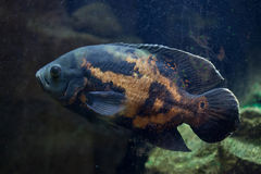 Oscar fish Astronotus ocellatus. Royalty Free Stock Photos