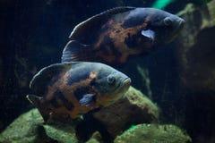 Oscar fish Astronotus ocellatus. Freshwater Fish. Oscar fish Astronotus ocellatus. Tropical freshwater fish stock image