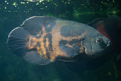 Oscar fish Astronotus ocellatus. Royalty Free Stock Photo