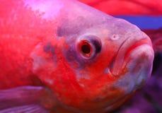 Oscar fish. Closeup in an aquarium stock image