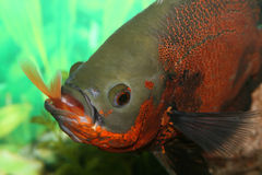 Oscar fish eating. Oscar fish eating a common goldfish stock images