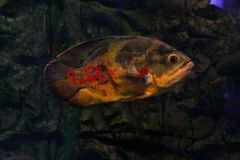 Oscar fish floating. Oscar fish floating under the water. Astronotus royalty free stock photography