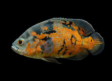 Oscar Fish isolated over black. Oscar Fish - South American freshwater fish from the cichlid family, known under a variety of common names including oscar, tiger Royalty Free Stock Image