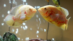 Oscar fish kissing stock footage