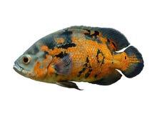 Oscar Fish lokalisierte über Weiß Stockfotos