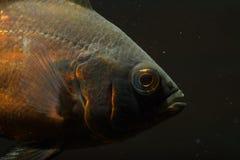 Oscar Fish Royalty Free Stock Photo