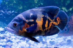 Oscar Fish. Picture of Oscar pet fish in an aquarium Stock Image