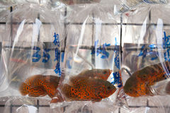 Oscar Fish for Sale. Colorful oscar fish for sale in hanging plastic bags in Hong Kong royalty free stock photography