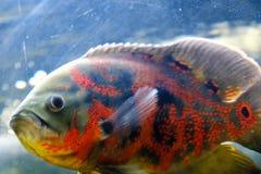 Oscar fish swimming underwater. Oscar orange fish swimming underwater aquarium close up stock images