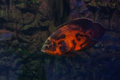 Oscar fish underwater. Astronotus ocellatus floating under the water. Oscar fish royalty free stock photography