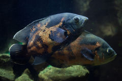 Oscar fish & x28;Astronotus ocellatus& x29;. Stock Photos