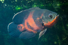 Oscar fish (Astronotus ocellatus). Royalty Free Stock Photo