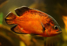 Oscar fisk (den Astronotus ocellatusen) Arkivfoton