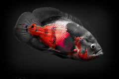 Oscar III. 14 Inch Oscar, swimming in a 55 Gallon tank.  Photo is black and white with red Stock Images