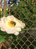 Bee on a White Oscar Peterson rose on chain link fence. Close up of honey bee on delicate white rose with rose buds growing by chain link fence in sunny garden stock photography