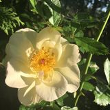 Oscar Peterson rose in sunlight. Yellow blooming Oscar Peterson rose at on leafy green bush in sunlight stock images