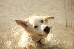 Oscar shaking water off Royalty Free Stock Photos