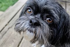 Oscar the Shih Tzu royalty free stock images