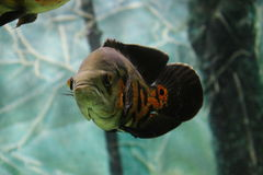 Oscar tropical fish on the aquarium Royalty Free Stock Images