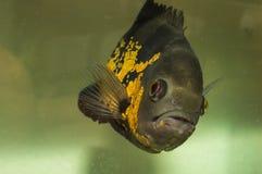 Oscarsvissen en dierlijke huisdieren op aquarium Stock Foto