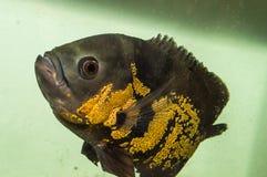 Oscarsvissen en dierlijke huisdieren op aquarium Stock Fotografie