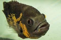 Oscarsvissen en dierlijke huisdieren op aquarium Stock Foto's