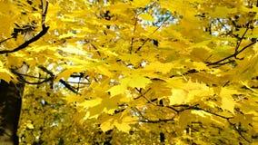 Oscilación amarilla de las hojas de otoño reservado en el viento en una rama almacen de metraje de vídeo