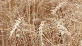 Oscilación amarilla del trigo de los oídos en el viento, el campo del fondo de oídos maduros del trigo, cosecha, trigo que crece  almacen de video