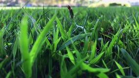 Oscilación de las hojas de la hierba verde en día ventoso almacen de metraje de vídeo