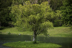 Oscilación perfecto del árbol en la isla del árbol Fotografía de archivo
