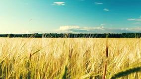 Oscilaci?n amarilla del trigo de los o?dos en el viento Trigo que crece en el campo, cielo azul almacen de metraje de vídeo