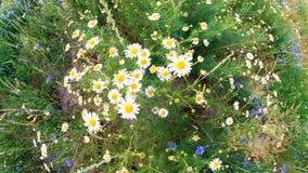 Oscilaci?n de las margaritas en el viento Campo de la opinión superior granangular del verano del primer hermoso de la manzanilla almacen de metraje de vídeo