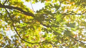 Oscilaciones de las hojas de arce del otoño metrajes