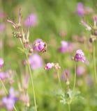 Oscile el macrorrhizum del ` s Bill Geranium de la grúa con la abeja Foto de archivo