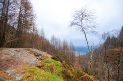 Oscile la meseta y el pequeño árbol de abedul rodeados por un bosque del alerce Foto de archivo libre de regalías