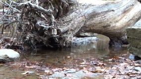 Oscile, las hojas, agua reflexiva enorme del tocón de árbol sobre parque de estado de la cala del campo de las cascadas de la bif metrajes