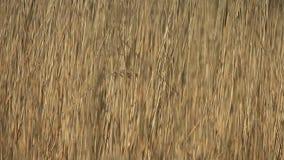 Oscillazione asciutta del cattail nel fondo del vento archivi video