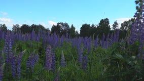 Oscillazione dei fiori del lupino dalla brezza stock footage