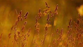 oscillazione dell'erba stock footage