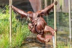 Oscillazione dell'orangutan del bambino e della madre all'altro lato immagini stock libere da diritti