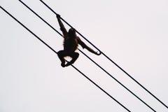 Oscillazioni dell'orangutan Immagini Stock Libere da Diritti