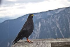 Oscine bird sitting on a handrail in a restaurant in the austrian alps Royalty Free Stock Photos