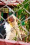 Oscitans d'Anastomus dans l'entaille photos stock