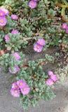 Oscularia Deltoides στοκ φωτογραφία