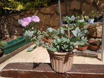 Oscularia pink succulent flower in a pot. Arid zone flowering plant. Tiny pink flower like daisy. Drought adaptation. Leaves. Israel nature sunny garden stock images