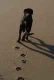 Oscuridad Labrador de la calabaza Imagen de archivo libre de regalías