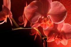 Oscurità dell'orchidea Fotografia Stock