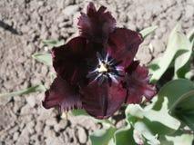 Oscuro-Borgoña repite mecánicamente el tulipán Imágenes de archivo libres de regalías