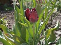 Oscuro-Borgoña repite mecánicamente el tulipán Foto de archivo libre de regalías