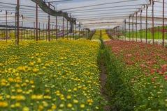 Osedd Thailand krysantemum av lopburien Arkivfoto